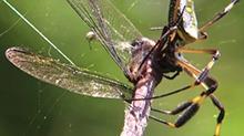 【BBC精选】人面蜘蛛:没有感情的配偶和世界最牢固的网