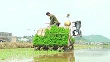 郴州安仁:推广三熟制双季杂交稻机插秧栽培技术