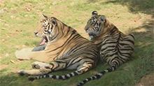 长沙休闲好去处 周末和老虎约个会呗