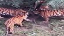 长春:一老虎被八只老虎围攻咬死 疑工作人员疏于管理