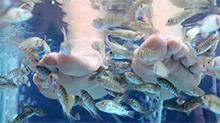 鱼疗能治病 这是真的吗?