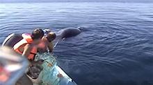 解救被渔网缠住的鲸鱼 收到特殊礼物