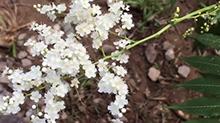 【一点植物学】有珍珠和花的华北珍珠梅