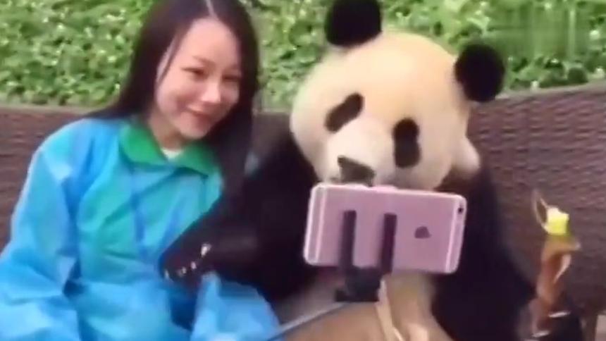 【感觉自己萌萌哒】和熊猫合影萌翻 还会自己摆造型镜头感十足