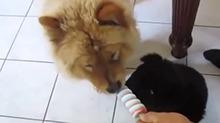 两只小狗狗吃一支雪糕也很可爱