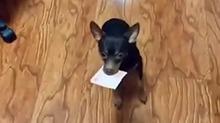 有这狗,男主人估计要疯掉!
